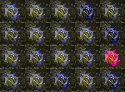 roselarge.jpg